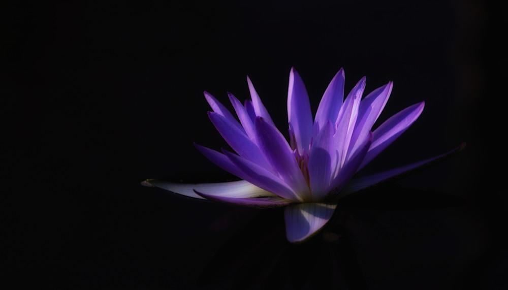Lavender Lily