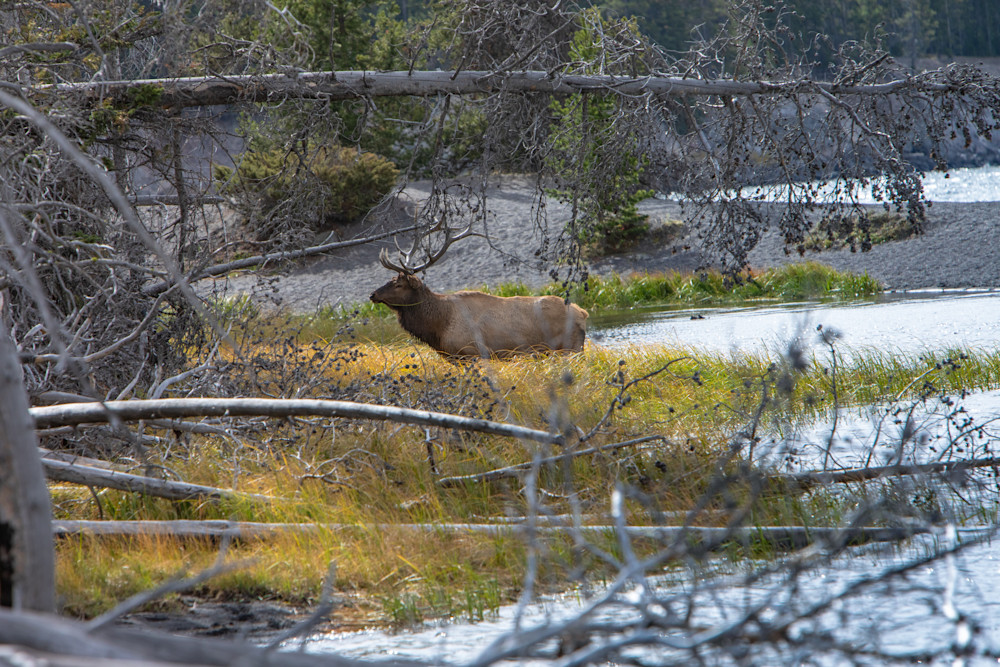 A Bull Elk walking back on shore at Yellowstone National Park