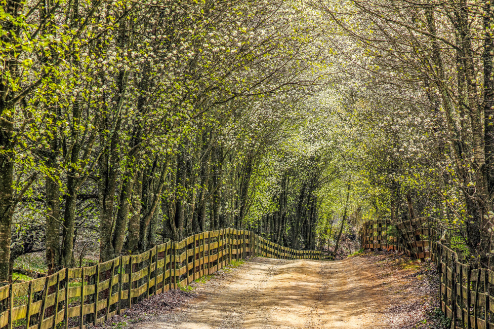Blooming Row Of Bradfords Art | Red Rock Photography