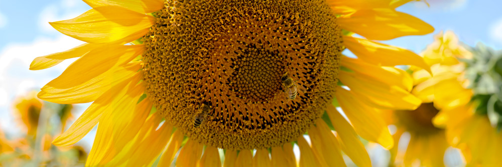 Sunflower With Bees Photography Art | templeimagery