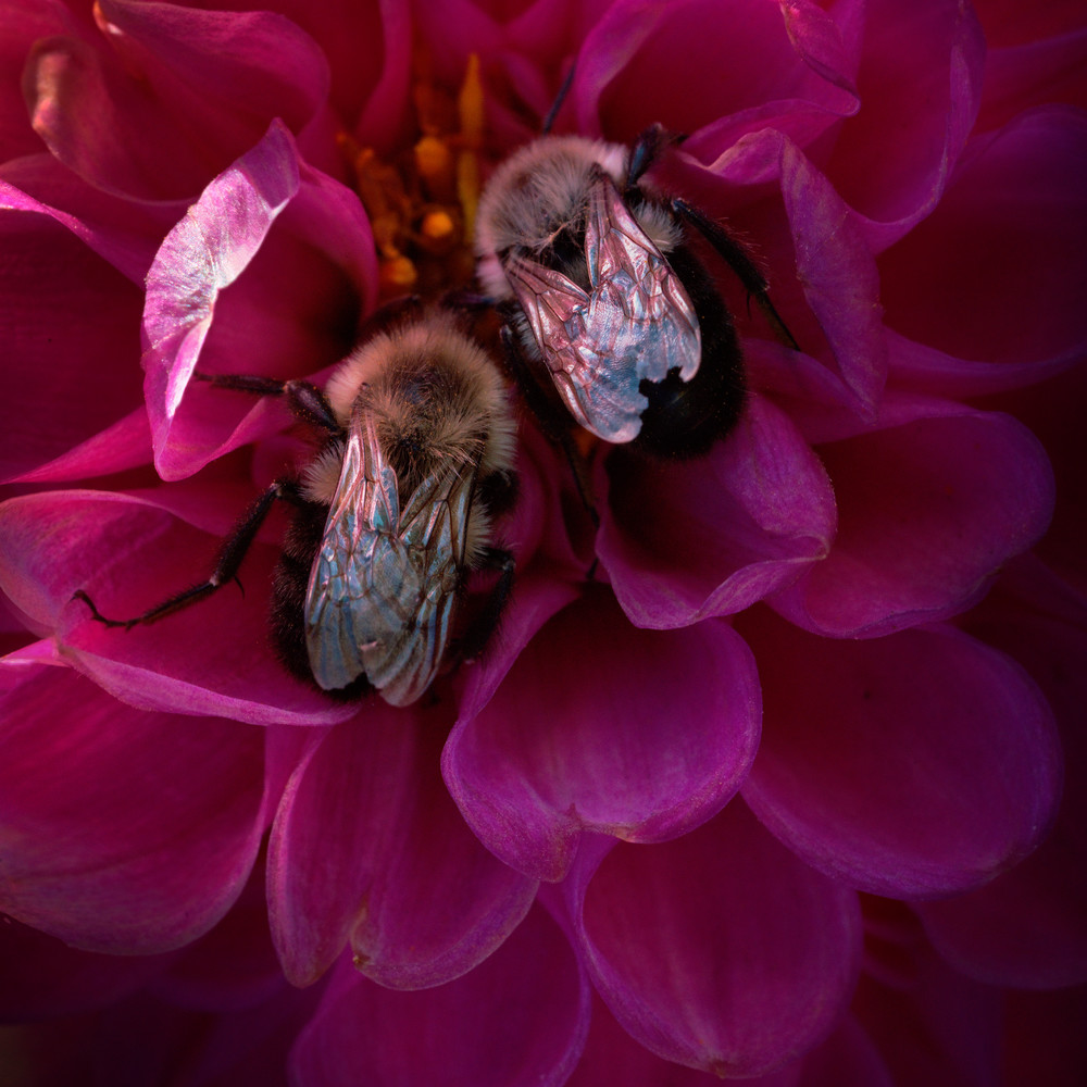 Pink Flower With Bees Photography Art   templeimagery
