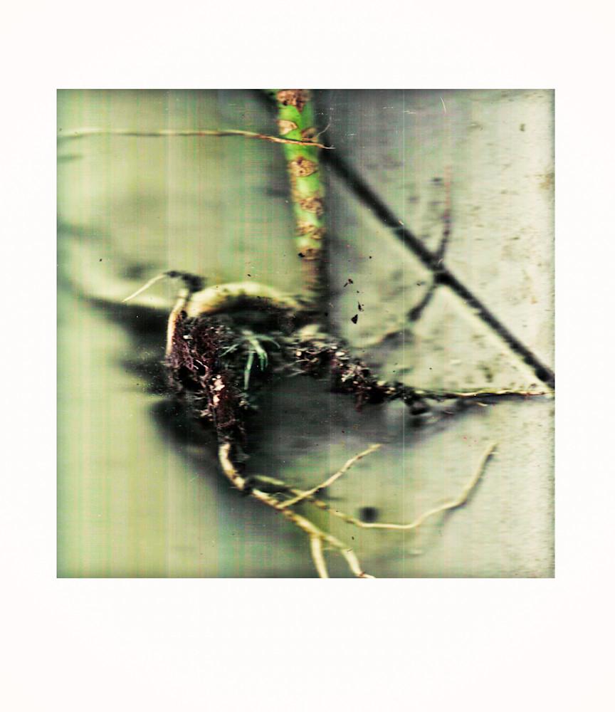 collard green roots