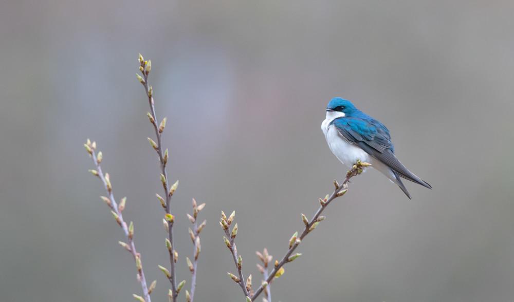 Tree Swallow Photography Art | Sarah E. Devlin Photography