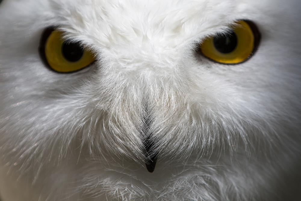 Snowy Owl Stare Photography Art | Nathan Larson Photography, LLC