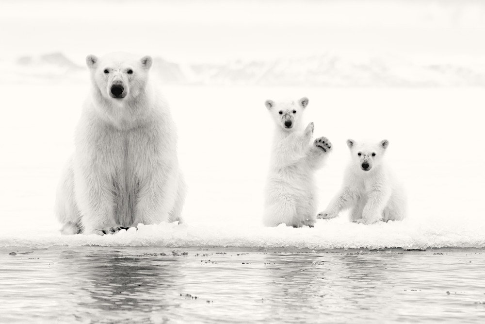 Ice Bears, Grayscale Photography Art   templeimagery