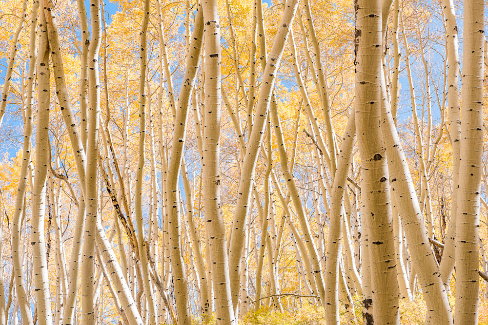 Beautiful Aspen Grove Photography Art | Peter Batty Photography