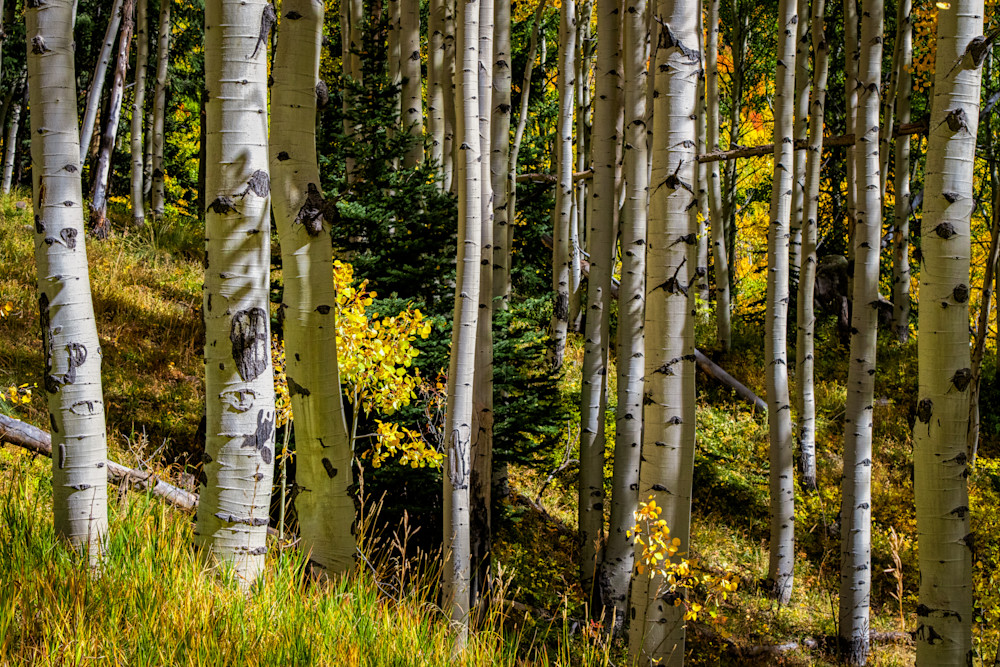 Symmetry - Colorado aspen photography prints