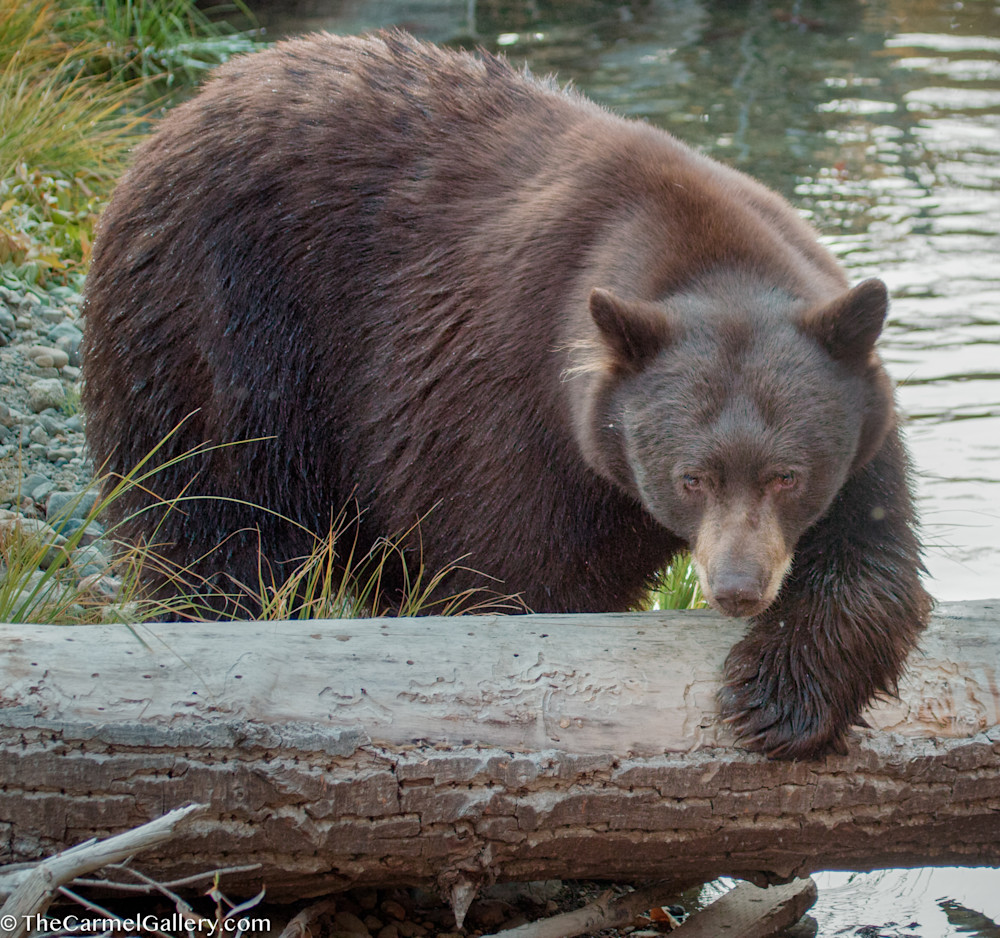 Tahoe bear photo