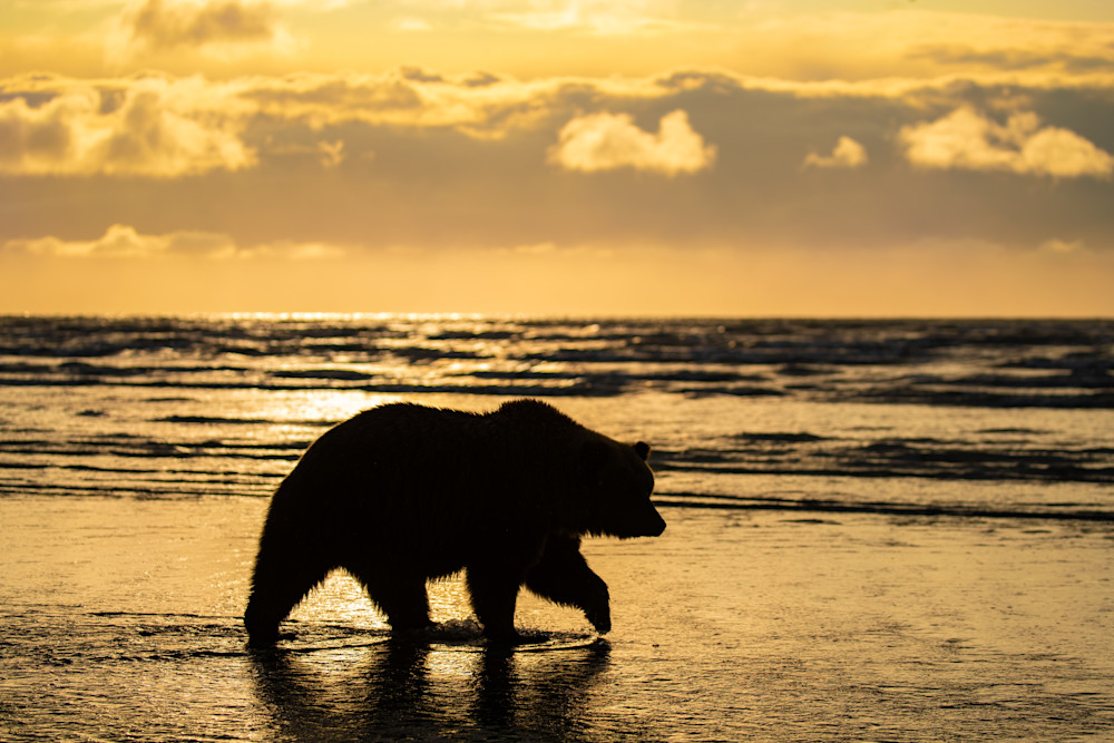 Bearly In Silhouette Photography Art | danieldauria
