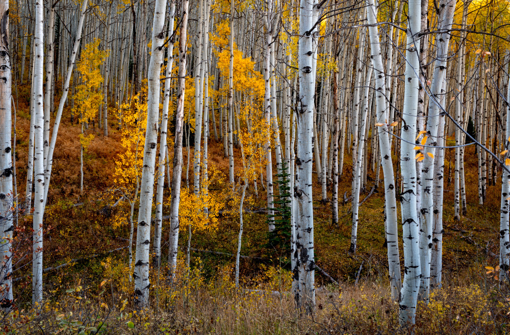 Aspen Grove Photography Art | Gale Ensign Photography