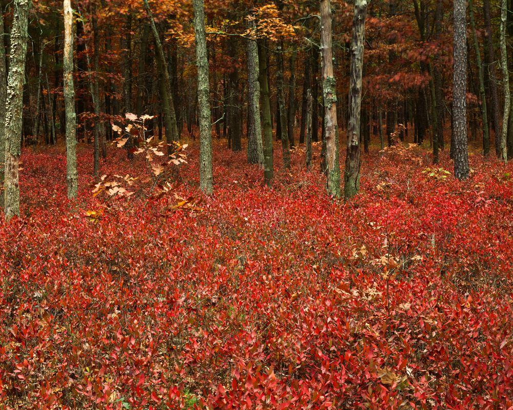 Fine Art Print | Inkberry Autumn Forest Undergrowth