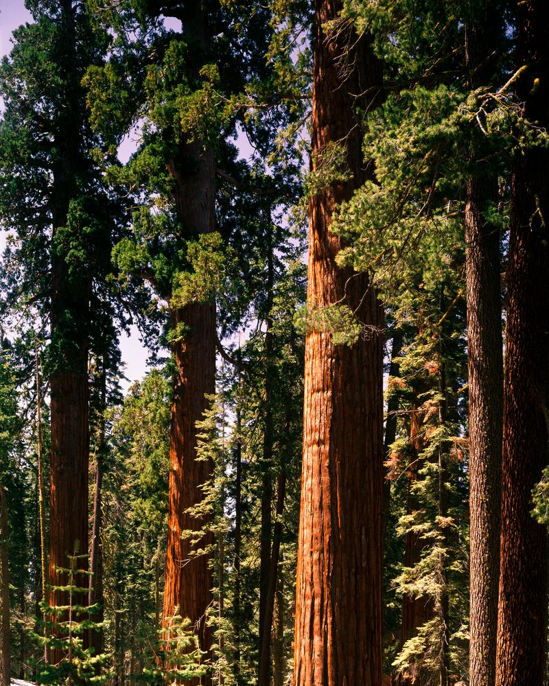 Fine Art Print | Giant Sequoias of The Mariposa Grove