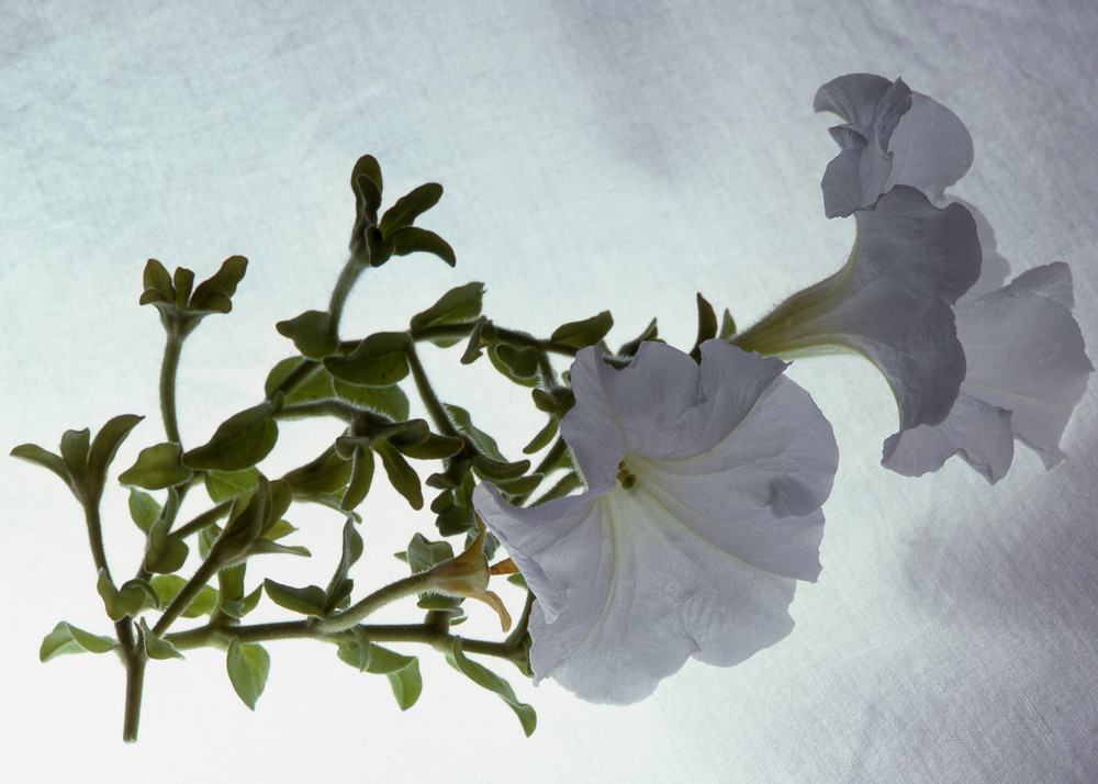 Fine Art Print   White Petunia on High Key Backdrop