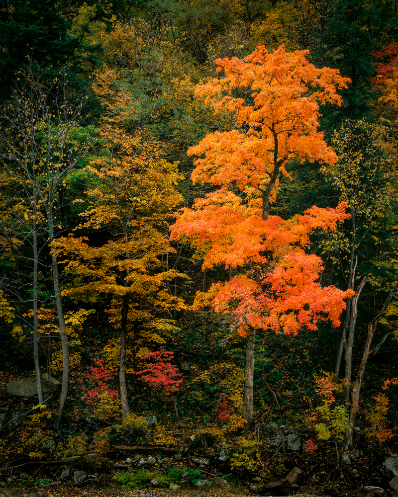 Fine Art Print | Lone Sugar Maple in Autumn