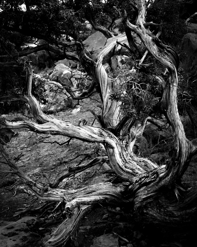 Fine Art B&W Print | Ancient Utah Juniper Tree