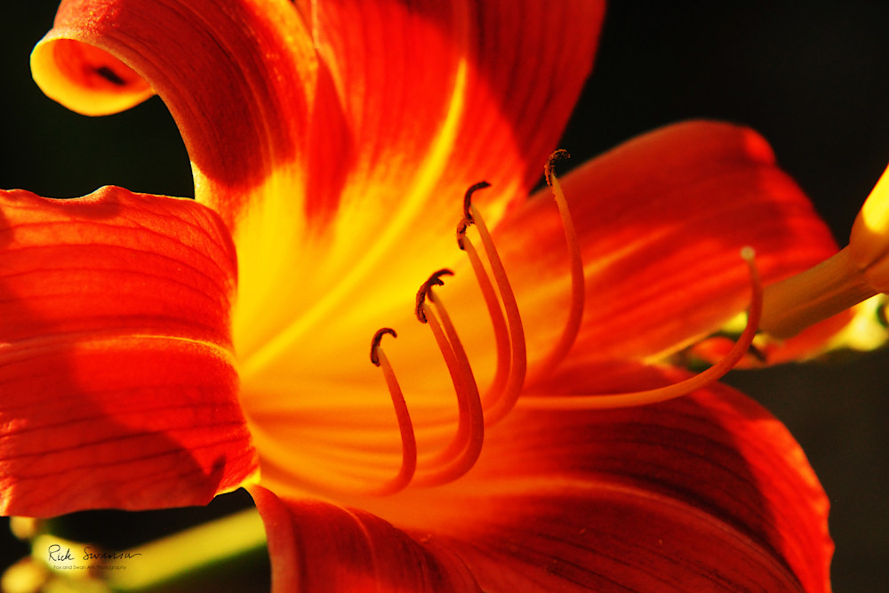 donnas lily