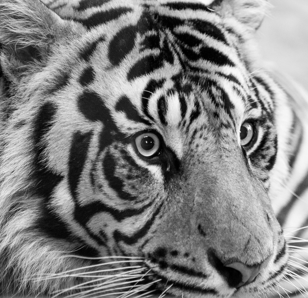 Eyes Of The Tiger Photography Art   Kristofer Reynolds Photography
