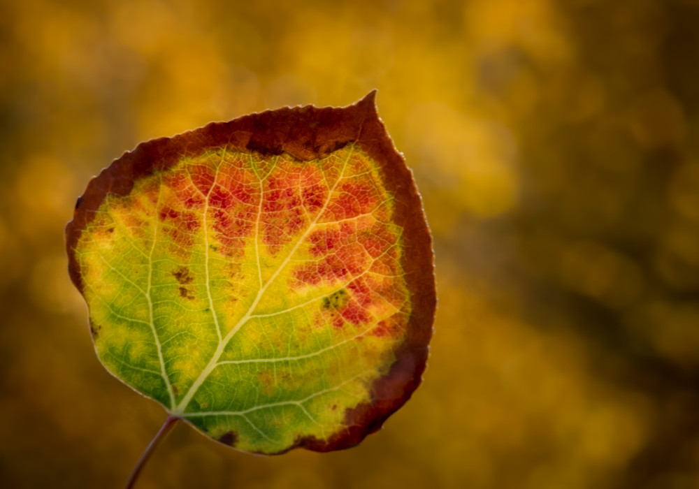 Fall Colors in One Leaf