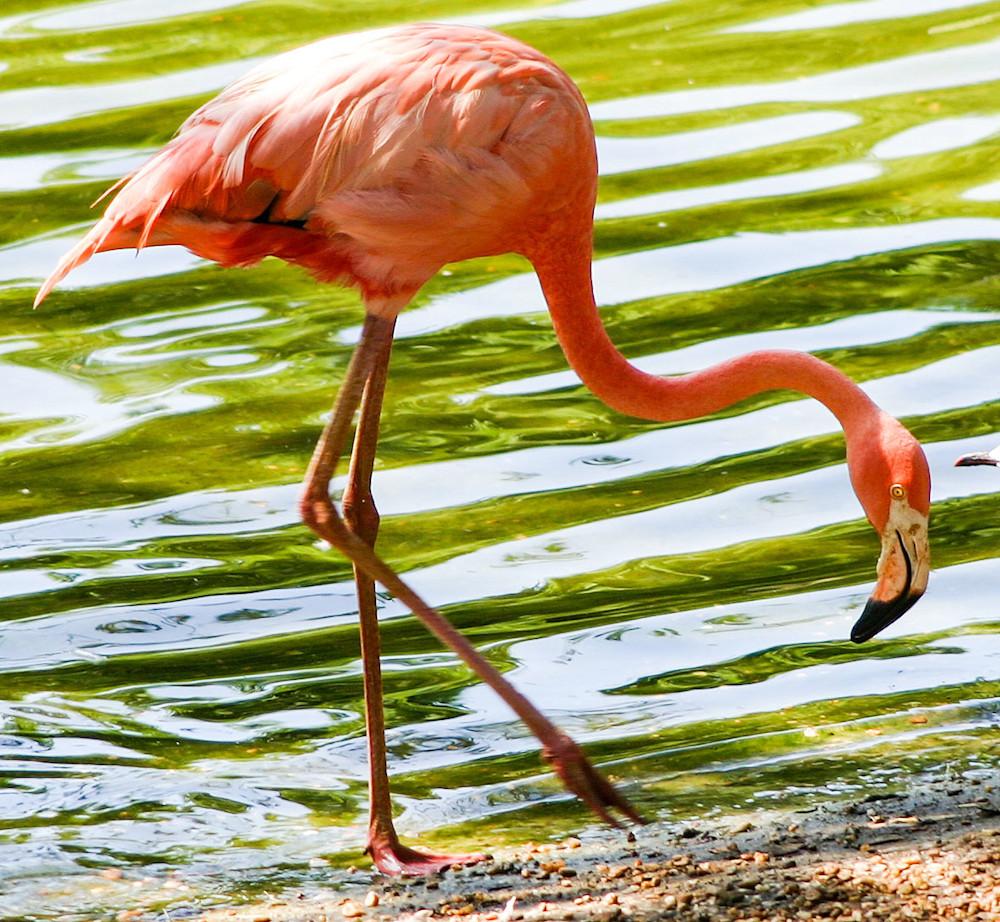 Flamingo On The Shore Photography Art | Kristofer Reynolds Photography