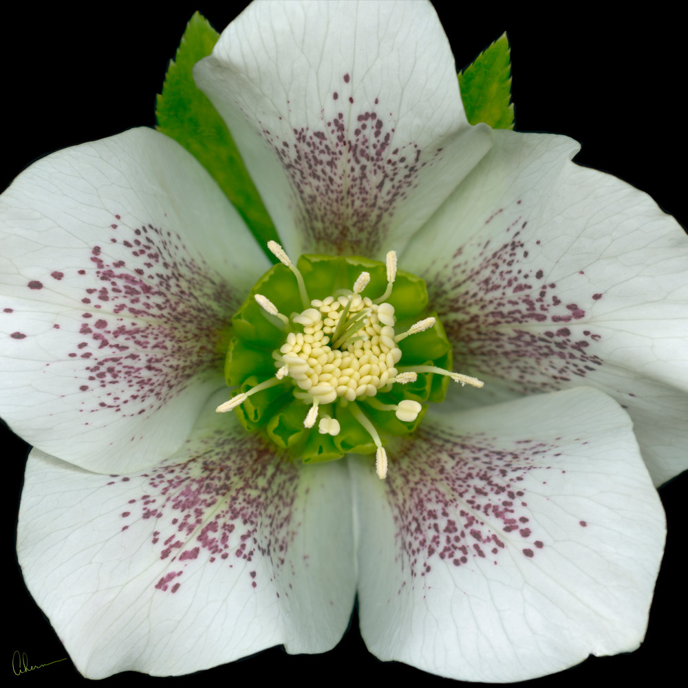 Royal Heritage Hellebore Squared metal wall art. Aluminum Prints by the artist, Mary Ahern.