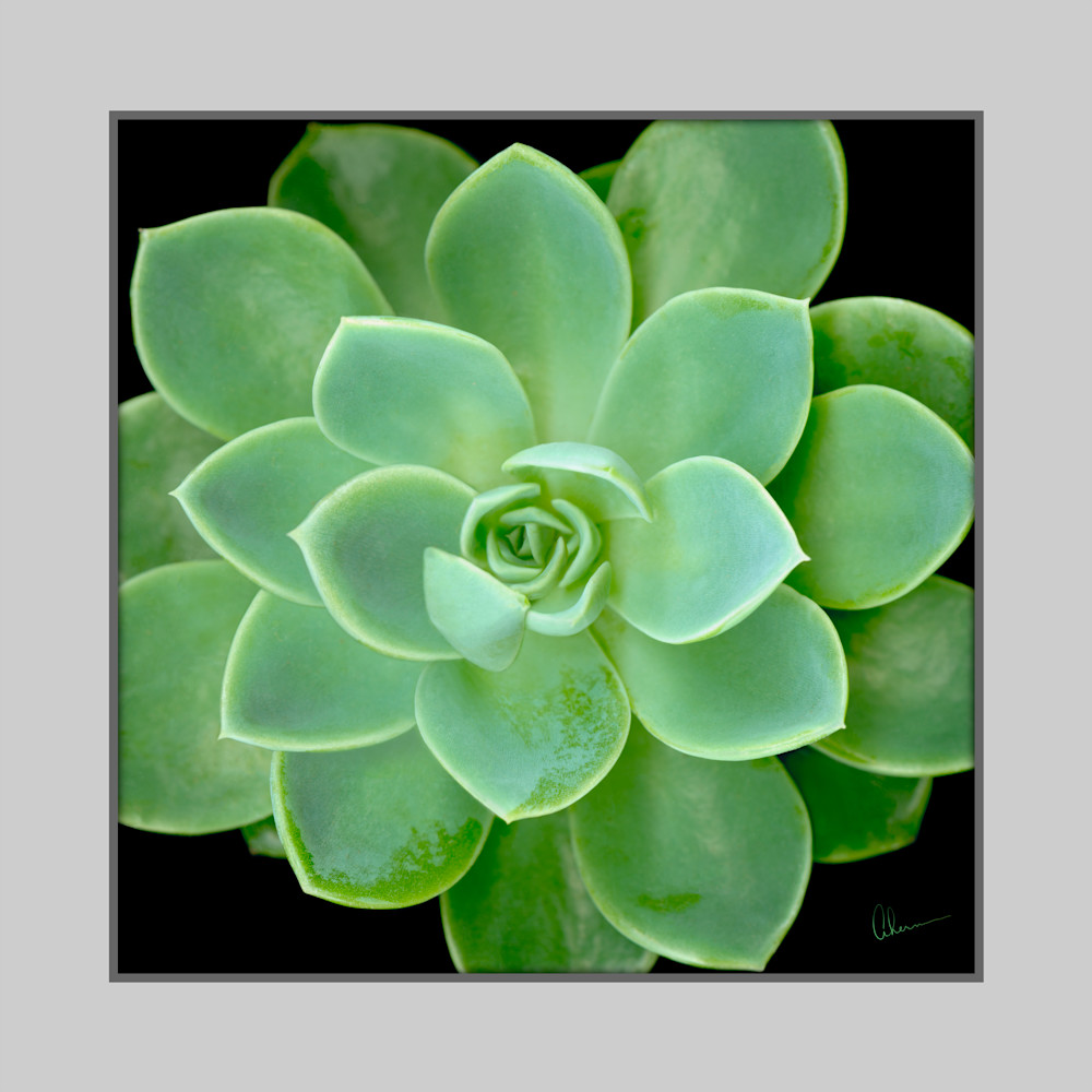 Echeveria Blue Atoll Squared metal wall art. Aluminum Prints by the artist, Mary Ahern.