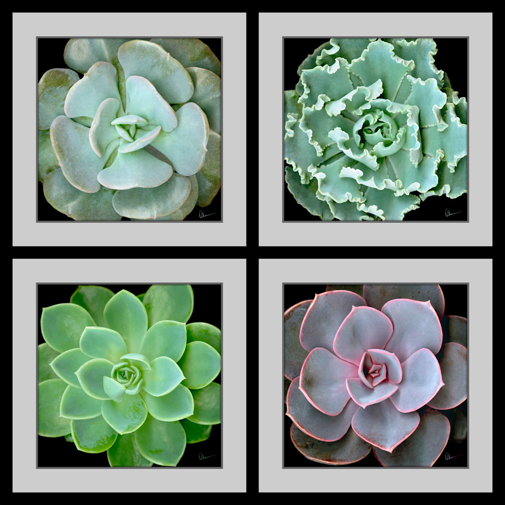 This composite of 4 different Echeverias is an extremely high-resolution close-up. It is designed with a faux black frame and gray Matte by the artist, Mary Ahern