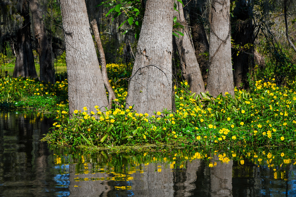 Bayou blossoms — Louisiana swamp photography