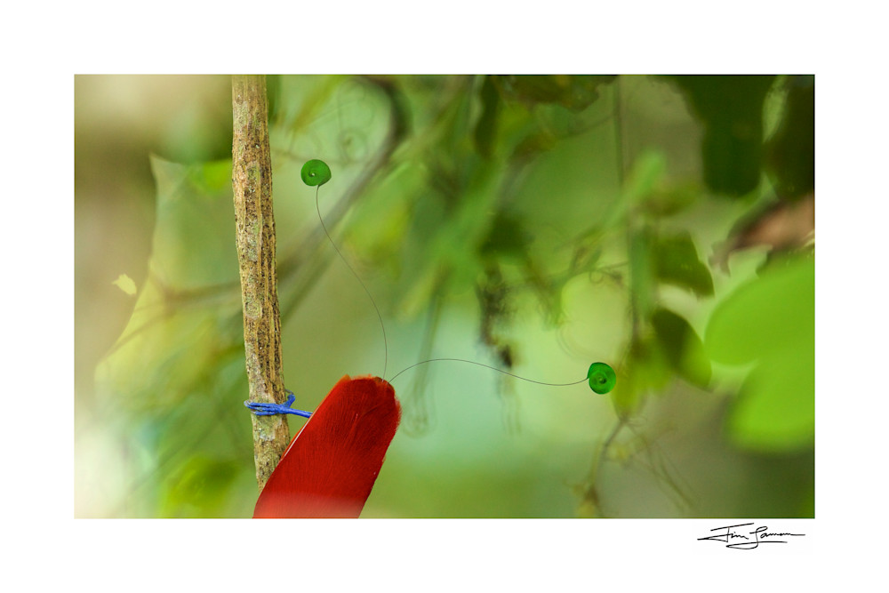 Photo of King Bird of Paradise artwork by National Geographic Photographer.