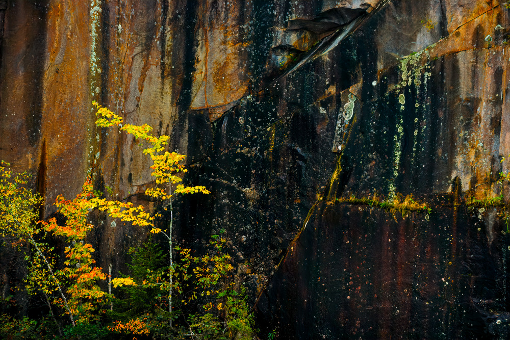 quarry wall golden tree maine autumn