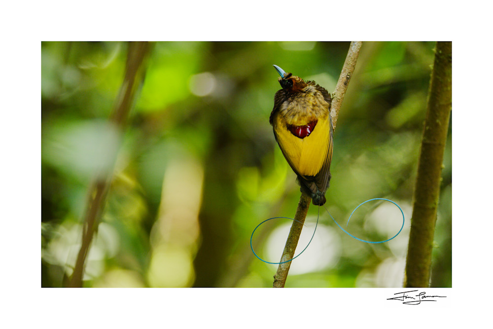 Magnificent Bird Of Paradise   A Show Of Colors Photography Art   Tim Laman