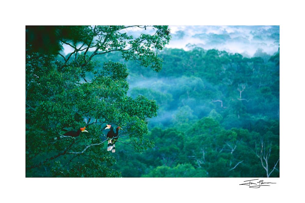 Rhinoceros hornbills in rain forest canopy