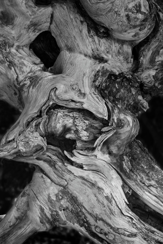 B&W Tree Detail in Yellowstone National Park