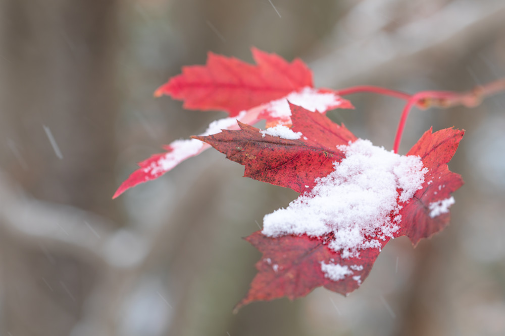 Early snow on red maple leaves - shop fine art prints | Closer Views