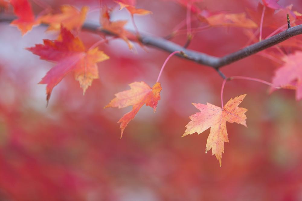 Changing Maple Leaves - shop fine art prints   Closer Views
