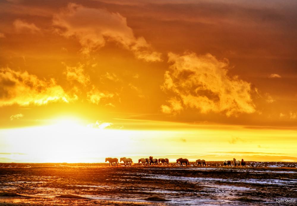 Icelandic horses at sunrise, 2016.