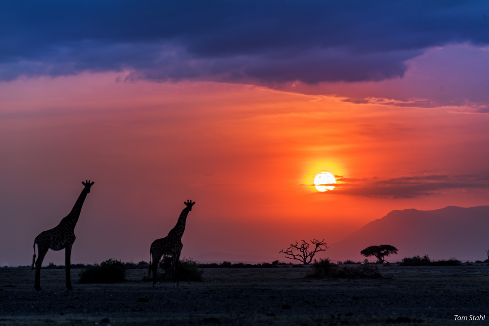 Giraffes at sunset, 2016.