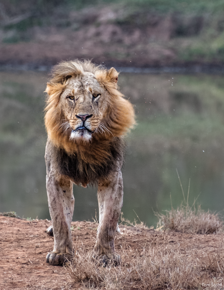 Lion head shake, 2016.