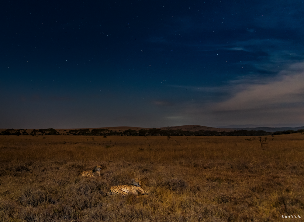 Cheetahs by moonlight, 2016.