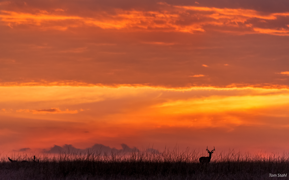 Impala At Sunset, 2016. Photography Art | Tom Stahl Photography
