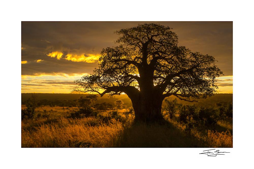 Baobab Sunrise Photography Art   Tim Laman