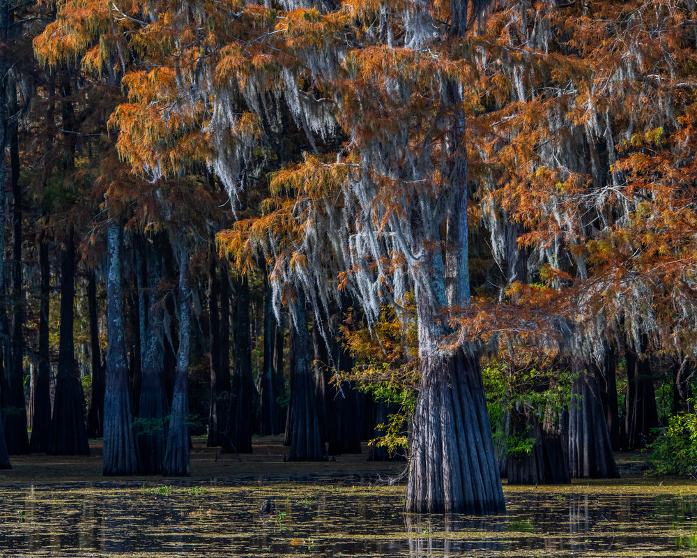 Festive Henderson Swamp - Louisiana photography prints