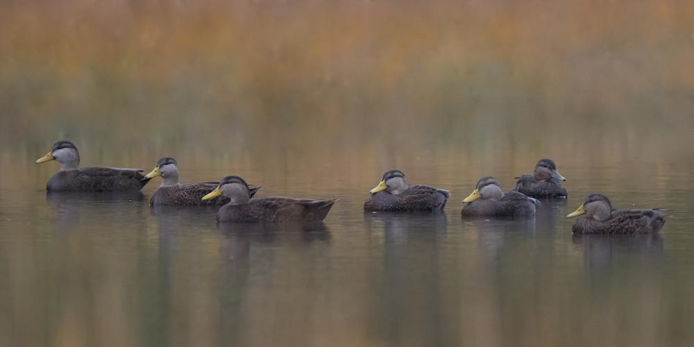 Black Ducks Art   Sarah E. Devlin Photography