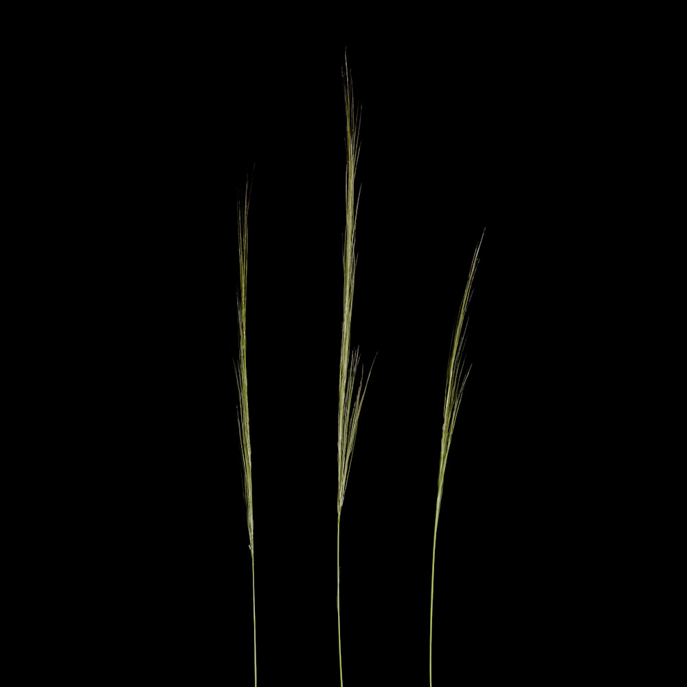 Three Grasses Outside of Windsor Vermont