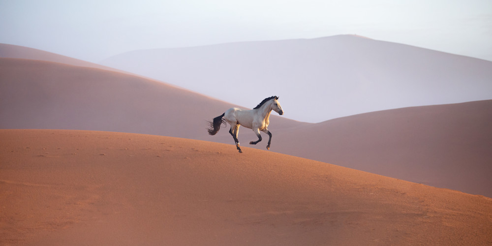 Stallion running through Sahara desert at sunrise in Morocco travel horse photography