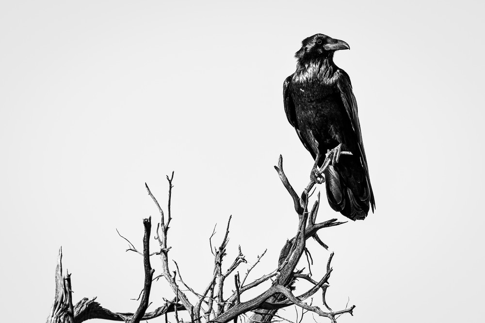 The Trickster - Raven photography prints