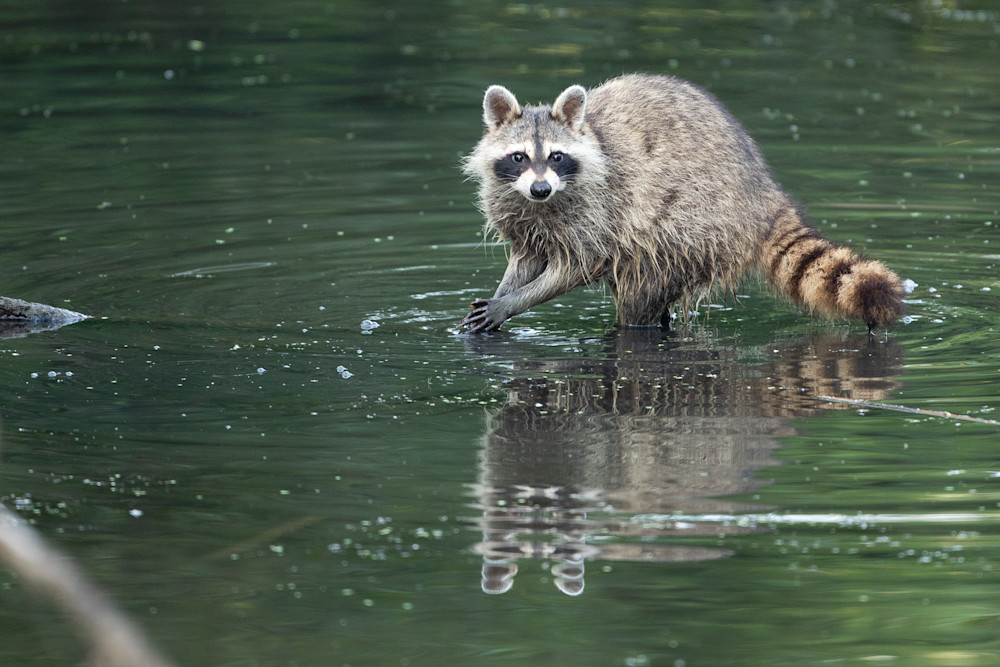 Raccoon Clapping and Feeding - Nature Photography