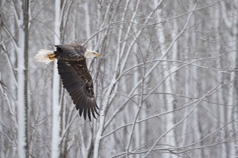 Bald Eagle Taking Flight - Wildlife Photography