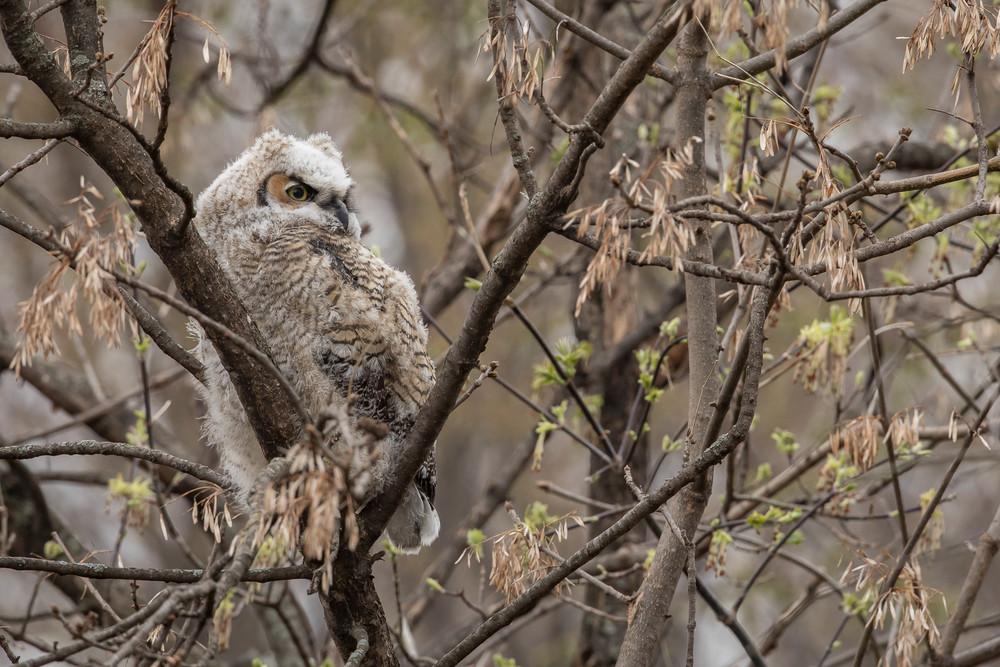 Great Horned Owl-lette