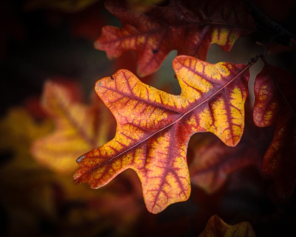 Post Oak Leaf Autumn Transition