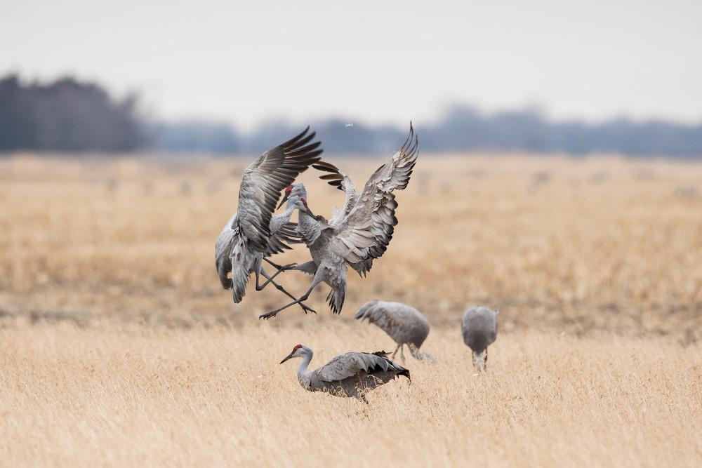 Sandhill Cranes Battle - Nebraska Wildlife Photography by Bill Van der Hagen